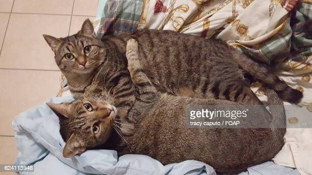 two cats resting together - caputo foto e immagini stock