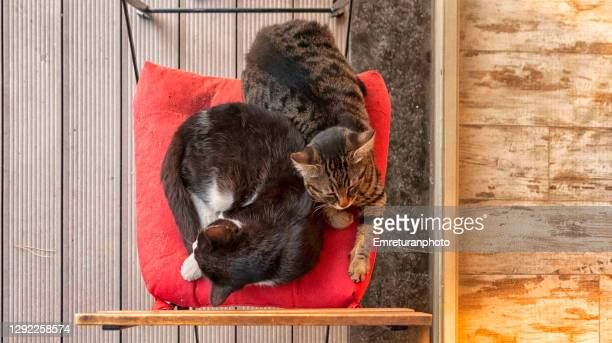 two cats sleeping on a red pillow in the front yard. - emreturanphoto stock pictures, royalty-free photos & images