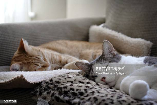 two cats sleeping - somerville massachusetts stock pictures, royalty-free photos & images