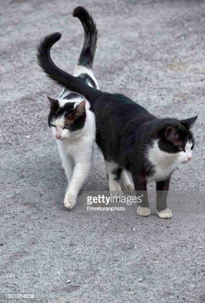 two cats walking together . - emreturanphoto stock pictures, royalty-free photos & images