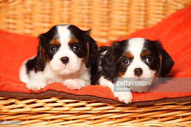 two cavalier king charles spaniel puppies lying on red blanket in a dog basket - red alert 2 stock pictures, royalty-free photos & images