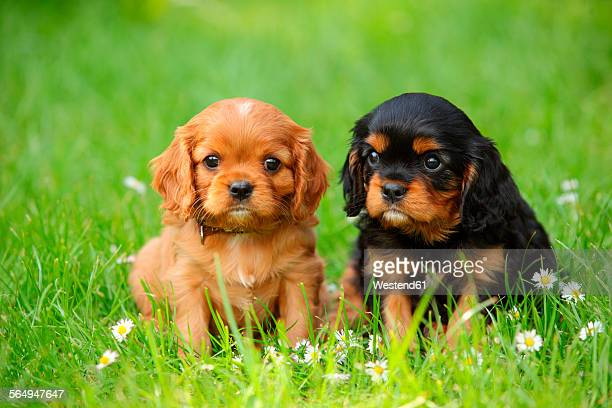 two cavalier king charles spaniel puppies sitting on a meadow - cavalier king charles spaniel stock pictures, royalty-free photos & images