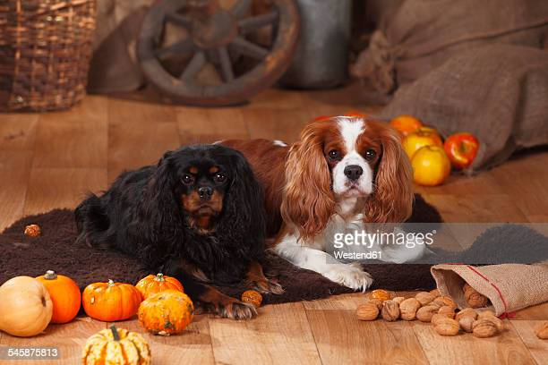 Two Cavalier King Charles Spaniels lying in an autumnal decorated barn