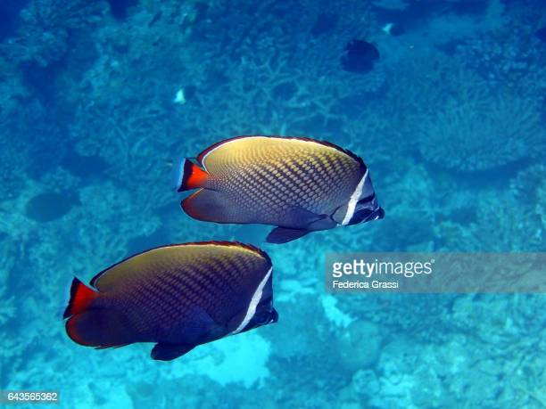 Two Chaetodon Collare (Red-tailed Butterflyfish)