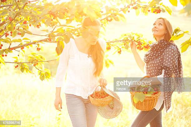 Two cheerful women picking cherries in orchard