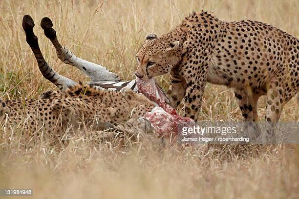 Two cheetah (Acinonyx jubatus) at a zebra kill, Kruger National Park, South Africa, Africa