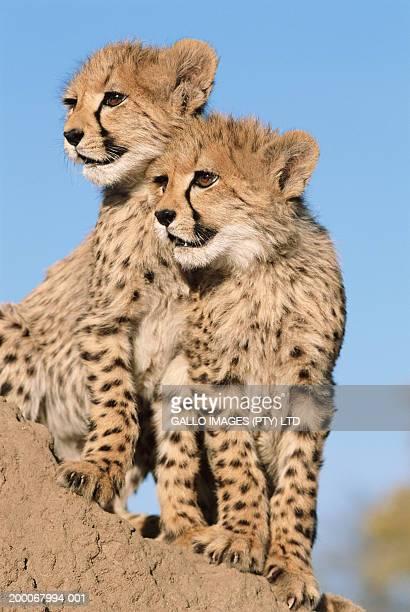 Two cheetah cubs (Acinonyx jubatus)