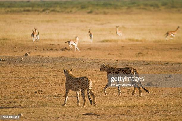 Two cheetah walking in the savannah hunting gazelle