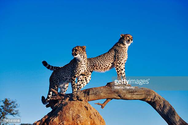 two cheetahs, acinonyx jubatus, using termite mound and branch as a vantage point. can reach top speeds of up to 120 km/hr over short distances with an acceleration of zero to 80km per hour in 3 seconds. endangered species. dist. africa & middle east. - time to hunt stock pictures, royalty-free photos & images