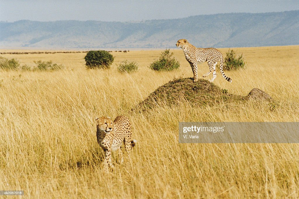 Two Cheetahs in Grassland : Stock Photo