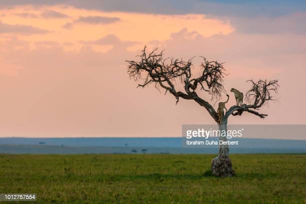 Two Cheetahs  on a Dead Tree With A Beautiful Land View