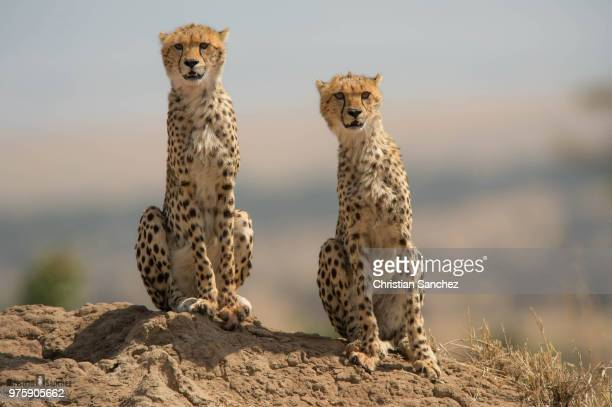 two cheetahs sitting in the wild. - cheetah stock pictures, royalty-free photos & images