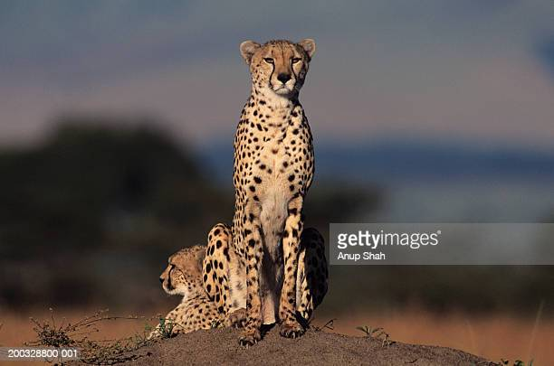 Two cheetahs (Acinonyx jubatus) watching from rock, Kenya