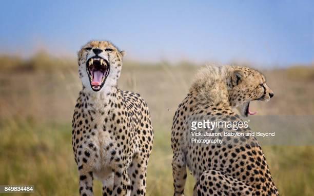 Two Cheetahs (Acinonyx jubatus) Yawning in Masai Mara, Kenya