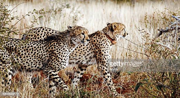 Two cheeths walking in Madikwe Game Reserve,South Africa