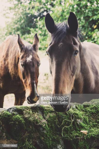 two chestnut brown horses enjoying retirement on a thoroughbred stud farm with copy space - racehorse stock pictures, royalty-free photos & images