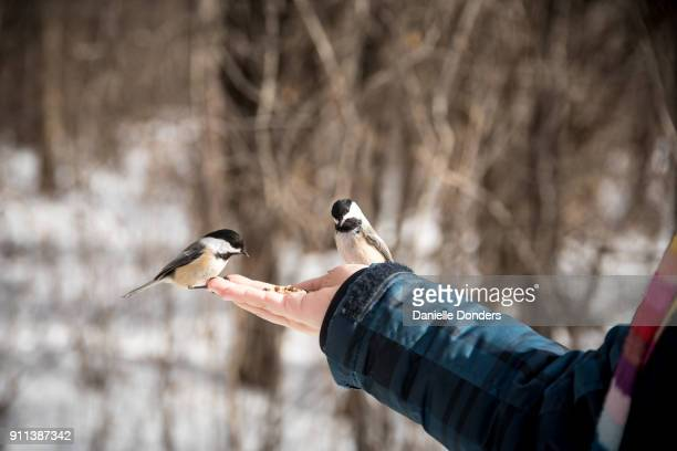 Two chickadees land on a hand and eat bird seed
