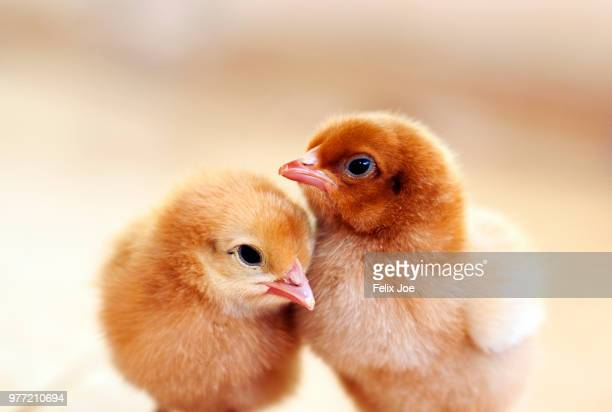 two chickens - baby chicken stock photos and pictures