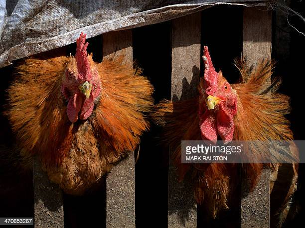 Two chickens wait in their cage after poultry markets closed due to the risk of spreading the H7N9 bird flu virus at Guiyang in Guizhou Province on...