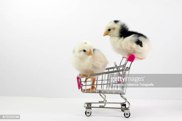 Two chicks inside a shopping cart