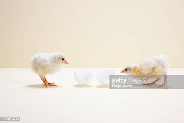 2 つの「chicks 」ので、スタジオショットエッグシェル