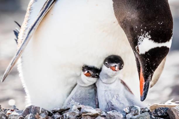 Two Chicks Gentoo Gentoo Penguin - Fine Art prints