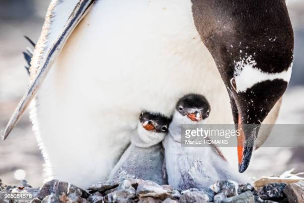 two chicks of gentoo gentoo penguin in their nest - pinguïn stockfoto's en -beelden
