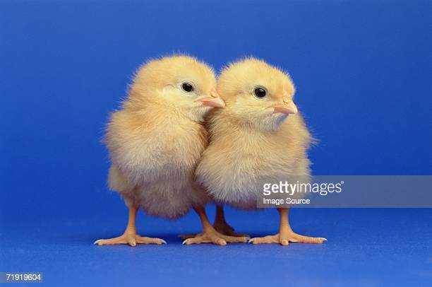 two chicks - baby chicken stock photos and pictures