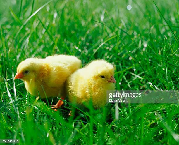 Two Chicks Standing in Grass