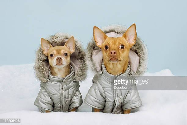 two chihauhaus wearing winter coats - parka coat stock photos and pictures