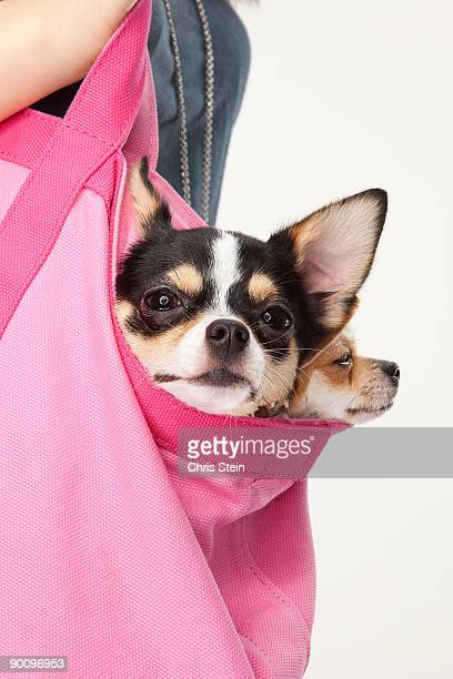 Two Chihuahua dogs in a bag