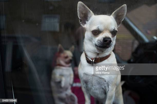 Two Chihuahua dogs looking out of the window of their owners van in Hackney East London England United Kingdom The Chihuahua is the smallest breed of...