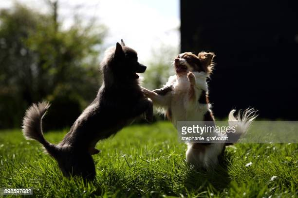 Two Chihuahua dogs playing in garden
