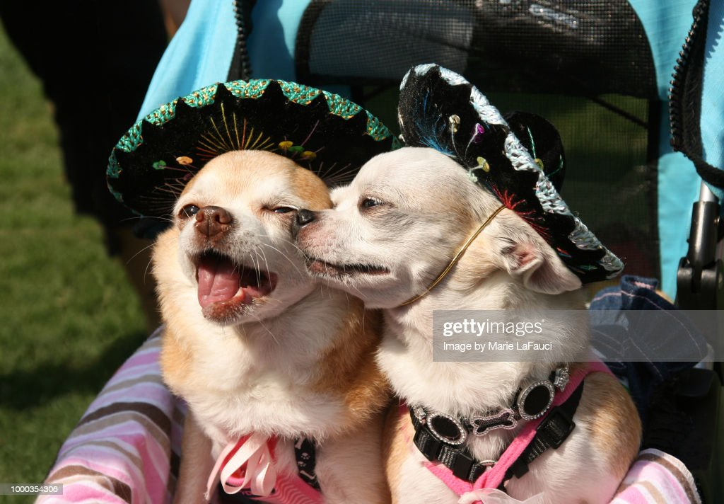 Two Chihuahua dogs wearing sombrero hats : Foto de stock