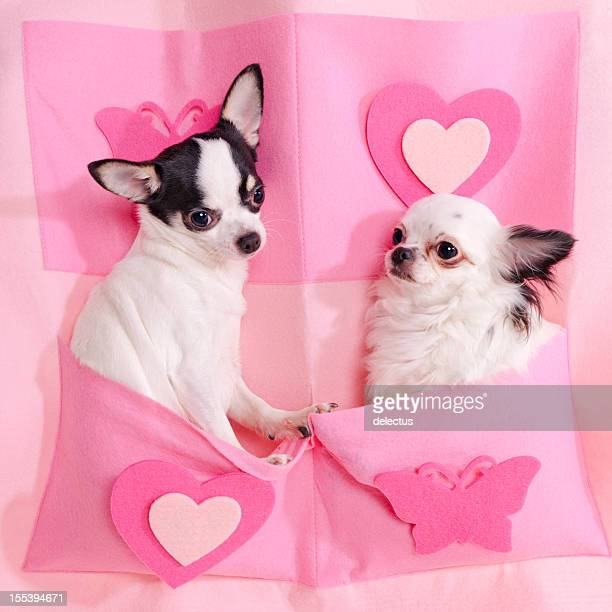 two chihuahuas in pink - long haired chihuahua stock photos and pictures