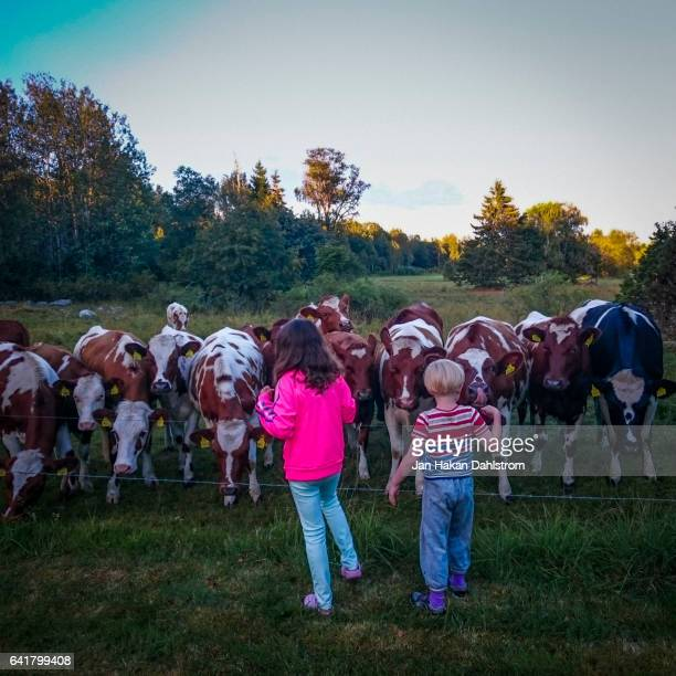 two children by a herd of cows - hot pink stock pictures, royalty-free photos & images