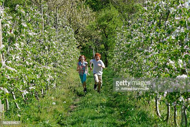 Two children running through rows of blooming apple trees, at Altenburg, Kaltern, South Tyrol, Italy