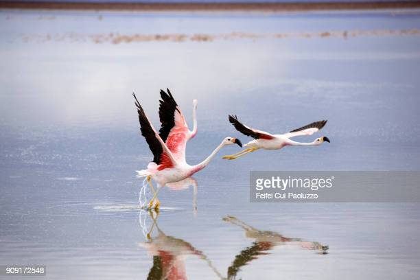 two chilean flamingos at laguna chaxa, los flamencos national reserve, chile - greater flamingo stock photos and pictures