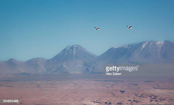 two chilean flamingos fly over the atacama desert. - alex saberi stock-fotos und bilder