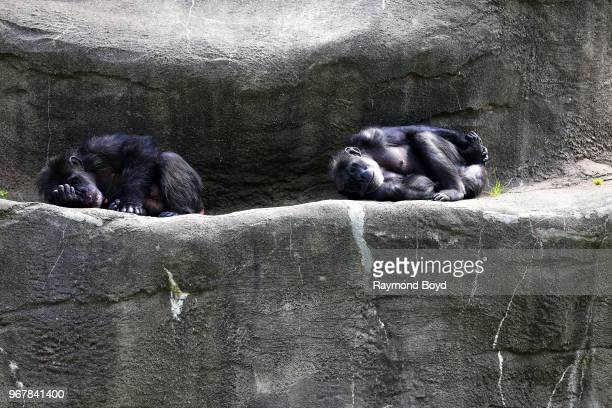 Two Chimpanzee at the Detroit Zoo in Royal Oak Michigan on May 26 2018