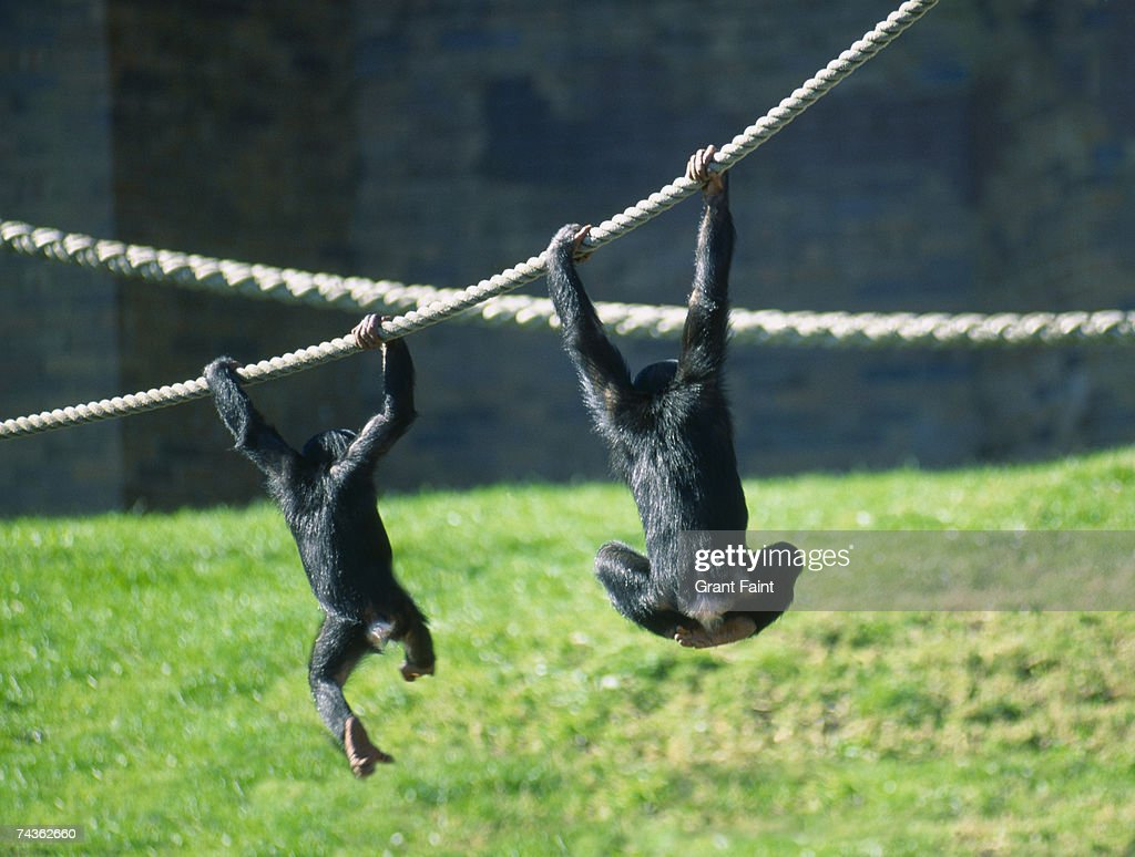 Two chimpanzees (Pan troglodytes) playing in zoo with ropes, rear view : Photo