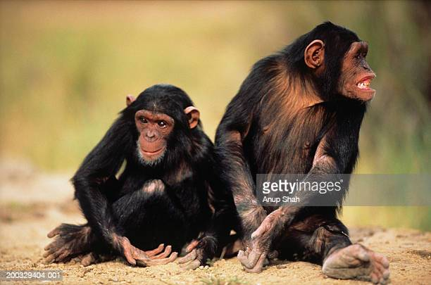 Two chimpanzees (Pan troglodytes) sitting on sand, Kenya, close-up