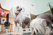 two chinese crested dog