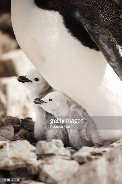 two chinstrap penguin chicks - chinstrap penguin stock pictures, royalty-free photos & images