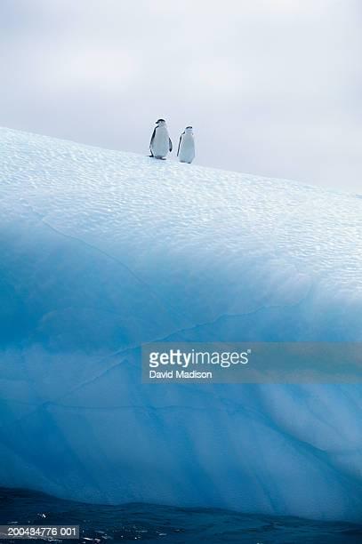 Two chinstrap penguins (Pygoscelis antarctica) atop iceberg