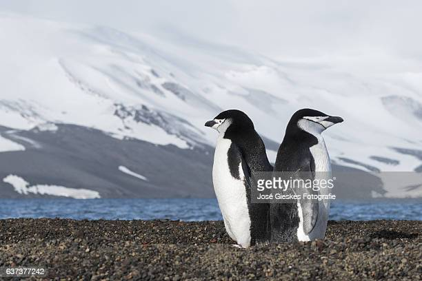 Two chinstrap penguins standing with their backs to eachother