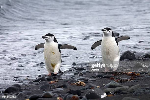Two Chinstrap penguins walking on beach, Barrientos Island, South Shetland Islands, Antarctica.