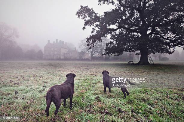 Two Chocolate Labradors in Foggy Countryside