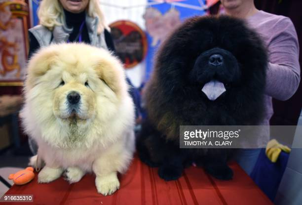 Two Chow Chow's dogs are seen during the 9th AKC Meet The Breeds on February 10 2018 in New York at the 142th Annual Westminster Kennel Club Dog Show...