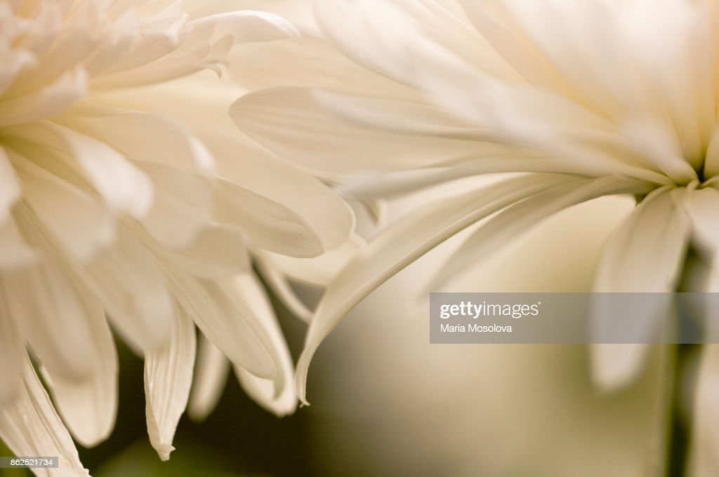 Two Chrysanthemum Flower Touching with Petals : Stock Photo